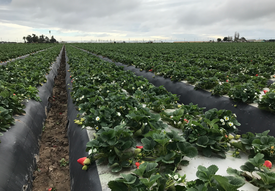 Gladstone strawberry field